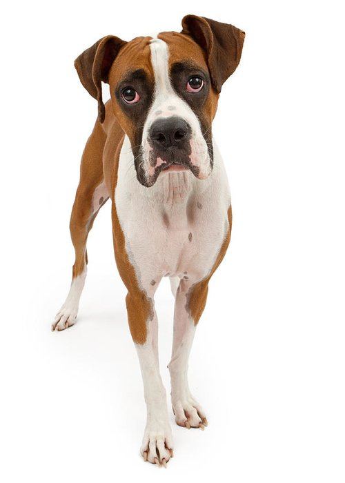 Dog Greeting Card featuring the photograph Boxer Dog Isolated On White by Susan Schmitz