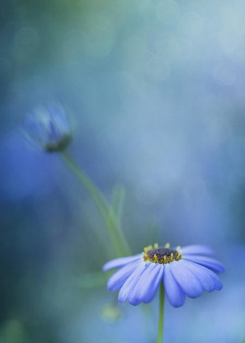 Daisy Greeting Card featuring the photograph Breathe Deeply by Priska Wettstein