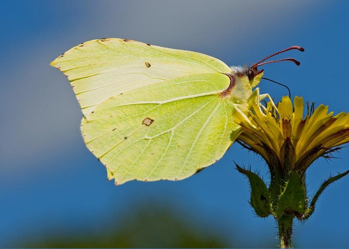 Brimstone Butterfly Greeting Card featuring the photograph Brimstone Butterfly by Science Photo Library