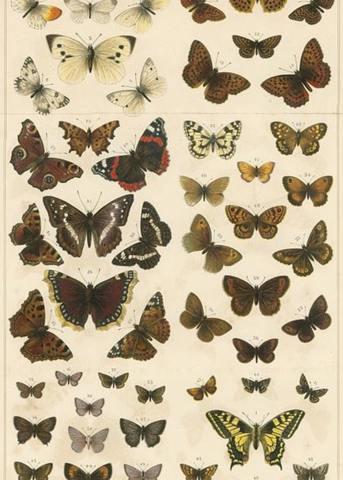 Educational; British Butterflies; Butterfly; Entomology Greeting Card featuring the painting British Butterflies by English School