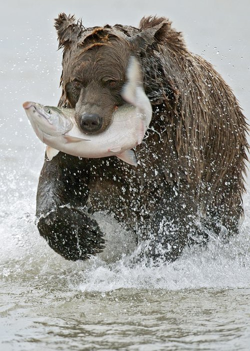 Wild Greeting Card featuring the photograph Brown Bear With Salmon Catch by Gary Langley