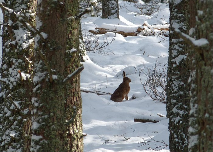 Brown Hare Greeting Card featuring the photograph Brown Hare - Snow Wood by Phil Banks
