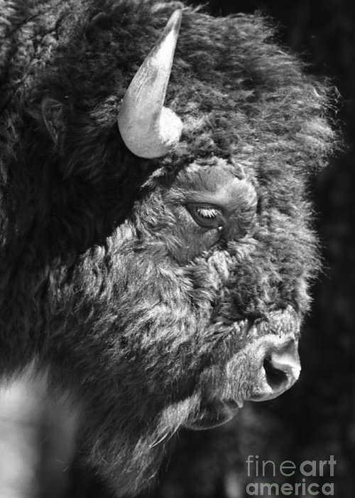 Nature Greeting Card featuring the photograph Buffalo Portrait by Robert Frederick