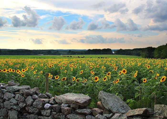 Sunflowers Greeting Card featuring the photograph Buttonwood Farm Sunflowers by Andrea Galiffi