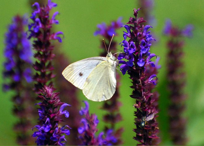 Nature Greeting Card featuring the photograph Cabbage White Butterfly by Christina Rollo