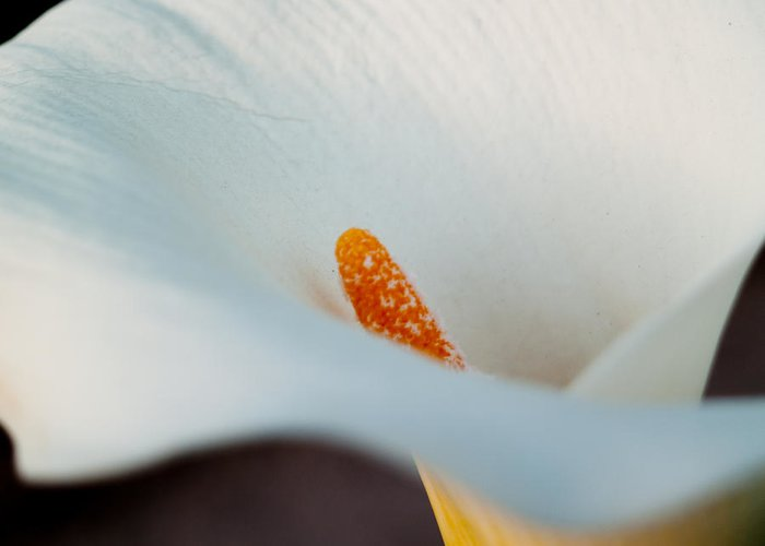 Cal Lilly Greeting Card featuring the photograph Calla Lily II by Bill Gallagher