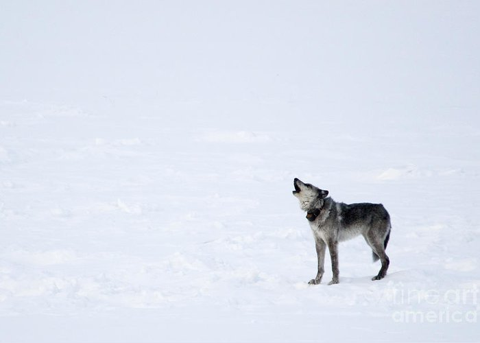 Gray Wolf Greeting Card featuring the photograph Calling Home by Deby Dixon
