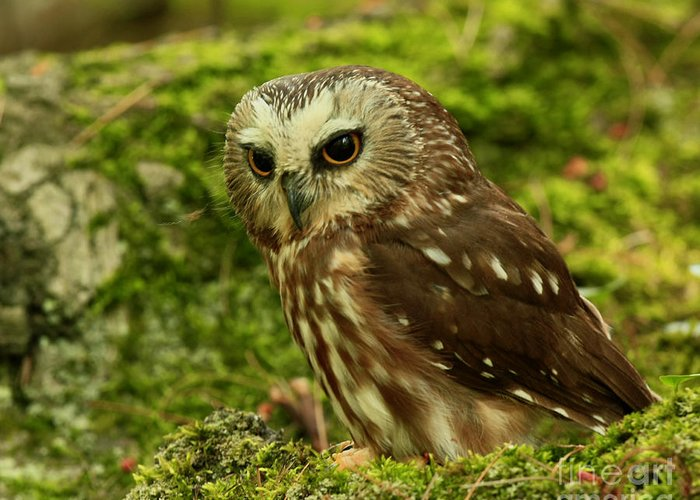 Canada's Greeting Card featuring the photograph Canada's Smallest Owl - Saw Whet Owl by Inspired Nature Photography Fine Art Photography