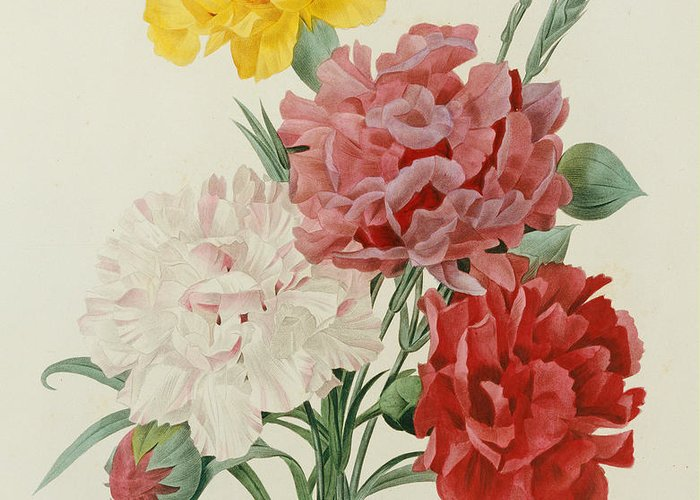 Flower; Plant; Botany; Botanical Greeting Card featuring the painting Carnations From Choix Des Plus Belles Fleures by Pierre Joseph Redoute