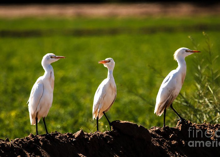 Birds Greeting Card featuring the photograph Cattle Egrets by Robert Bales