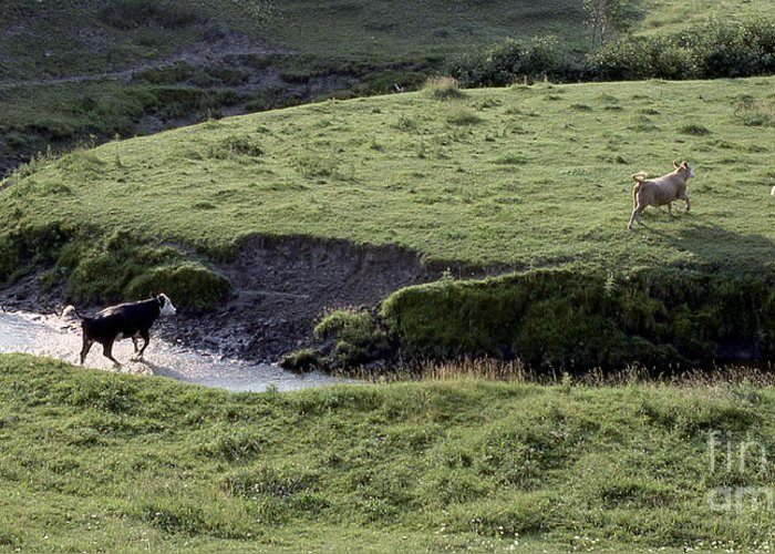 Cattle Greeting Card featuring the photograph Cattle Running by Andre Paquin