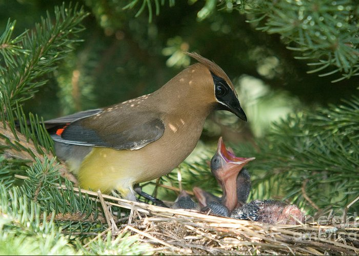 Bombycilla Cedrorum Greeting Card featuring the photograph Cedar Waxwings by Linda Freshwaters Arndt