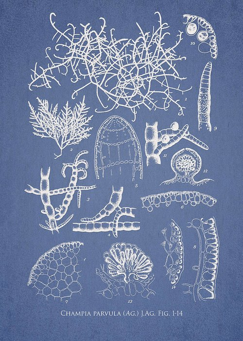 Algae Greeting Card featuring the drawing Champia Parvula by Aged Pixel