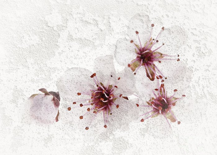 Cherry Blossoms Close Up Greeting Card by Elena Elisseeva