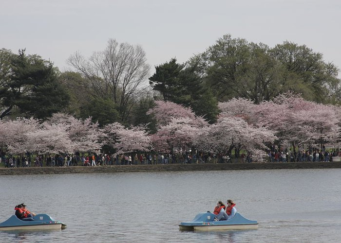 Cherry Greeting Card featuring the photograph Cherry Blossoms - Washington Dc - 011315 by DC Photographer
