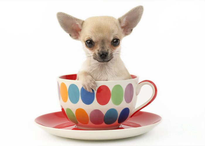 Chihuahua Greeting Card featuring the digital art Chihuahua In Cup Dp684 by Greg Cuddiford