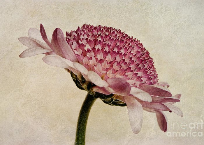 Chrysanthemum Canvas Greeting Card featuring the photograph Chrysanthemum Domino Pink by John Edwards