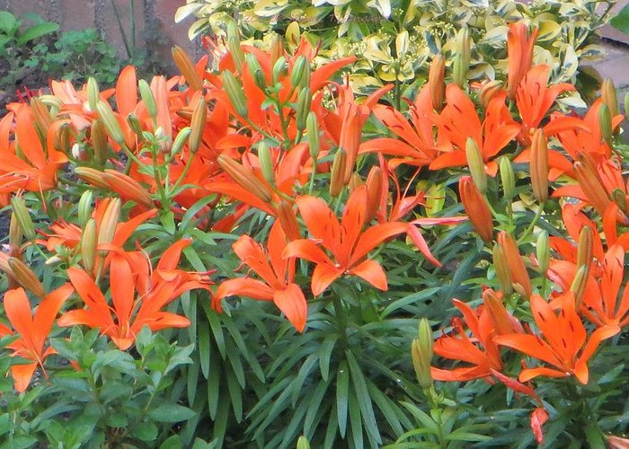 Orange Beauties Greeting Card featuring the photograph Cincture Of Lilies by Sonali Gangane