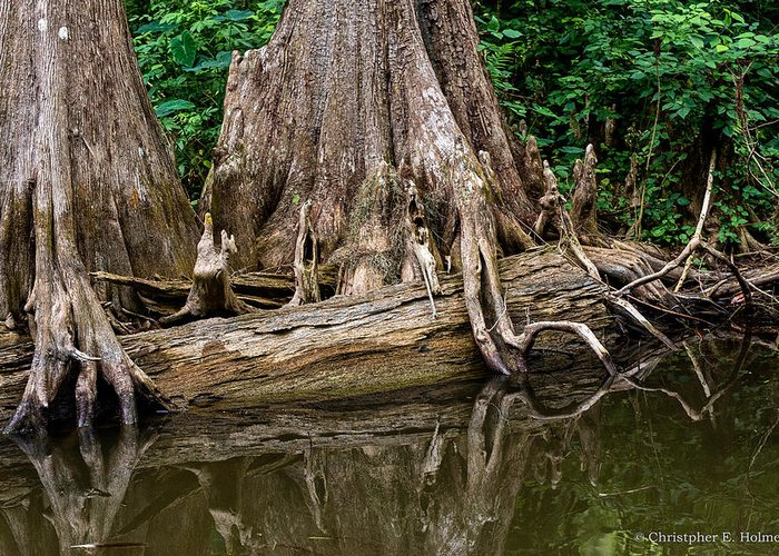 Christopher Holmes Photography Greeting Card featuring the photograph Clinging Cypress by Christopher Holmes