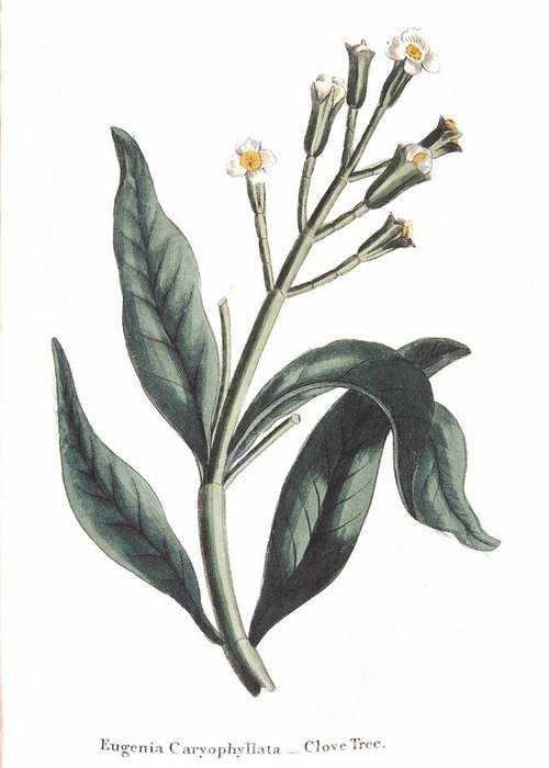 Clove Greeting Card featuring the painting Clove Eugenia Aromatica by Anonymous