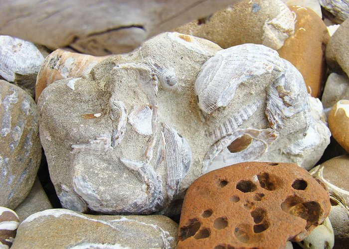 Fossils Greeting Card featuring the photograph Coastal Shell Fossil Art Prints Rocks Beach by Baslee Troutman