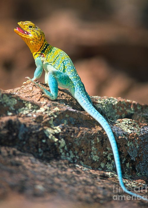 America Greeting Card featuring the photograph Collared Lizard by Inge Johnsson