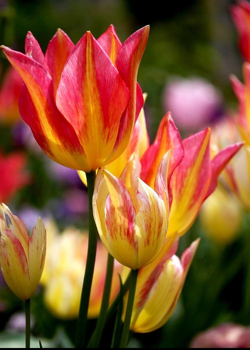 Tulips Greeting Card featuring the photograph Colorful Tulips by Rona Black