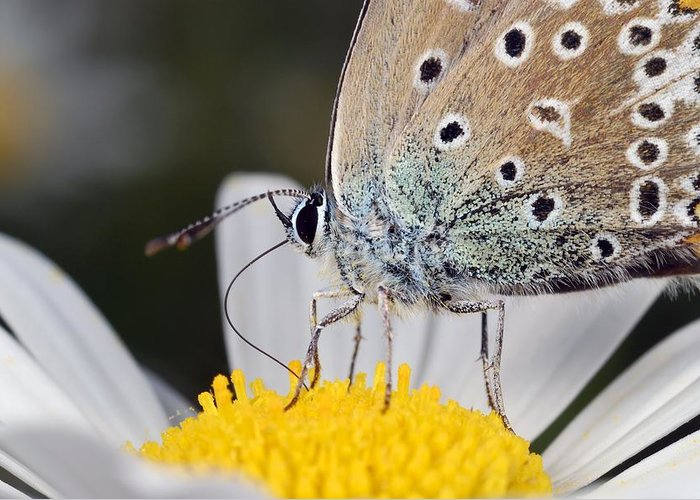 Animal Greeting Card featuring the photograph Common Blue Butterfly by Science Photo Library