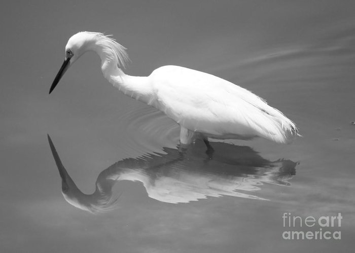 Snowy Egret Greeting Card featuring the photograph Concentration by Carol Groenen