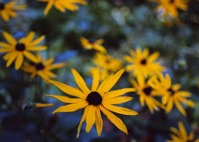 Cone Flower Greeting Card featuring the photograph Cone Flowers by Marcio Faustino