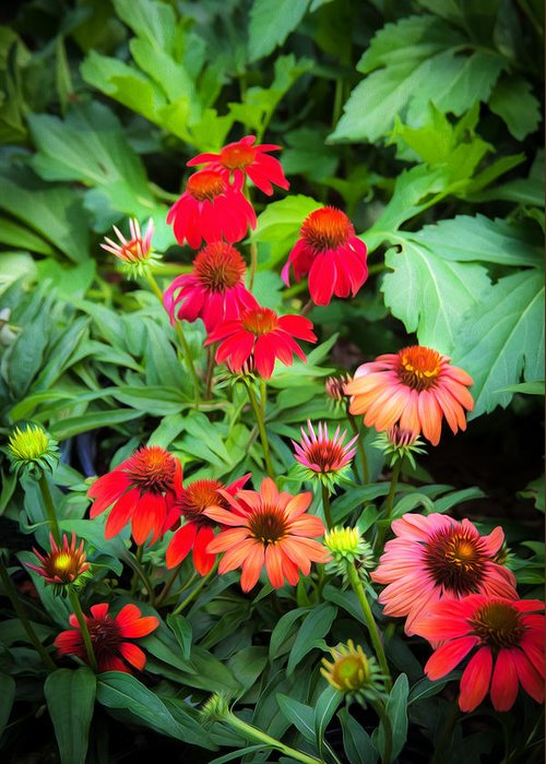 Echinacea Greeting Card featuring the photograph Coneflowers Echinacea Rudbeckia by Rich Franco