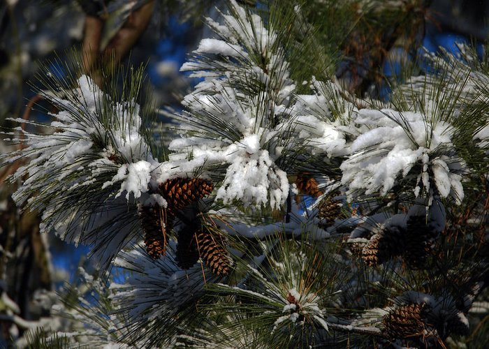 Pine Greeting Card featuring the photograph Cones by Skip Willits