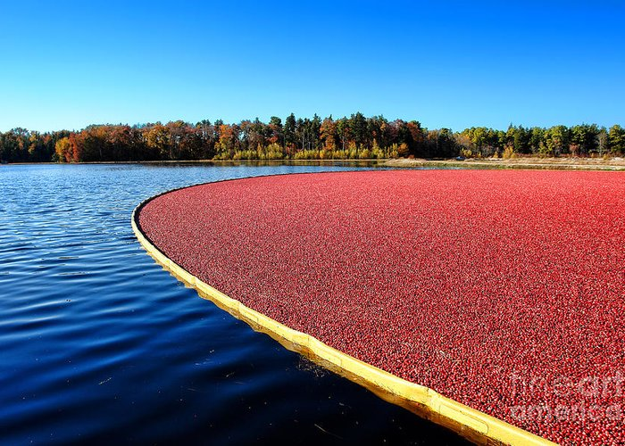 New Jersey Greeting Card featuring the photograph Cranberry Harvest In New Jersey by Olivier Le Queinec