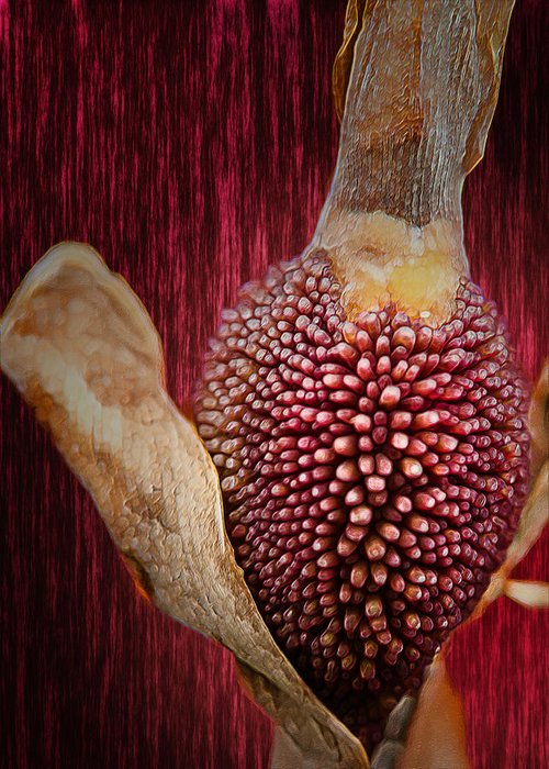 Plant Greeting Card featuring the photograph Crimson Canna Lily Bud by Bill Tiepelman