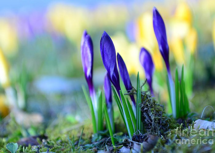 Bokeh Greeting Card featuring the photograph Crocus by Hannes Cmarits
