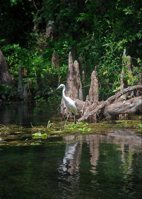 Fl Greeting Card featuring the photograph Crystal River Egret by Skip Willits