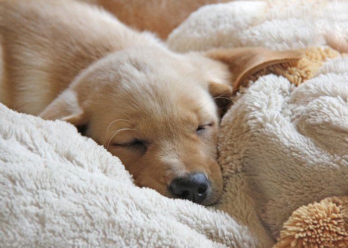 Puppy Greeting Card featuring the photograph Cuddling Labrador Retriever Puppy by Jennie Marie Schell