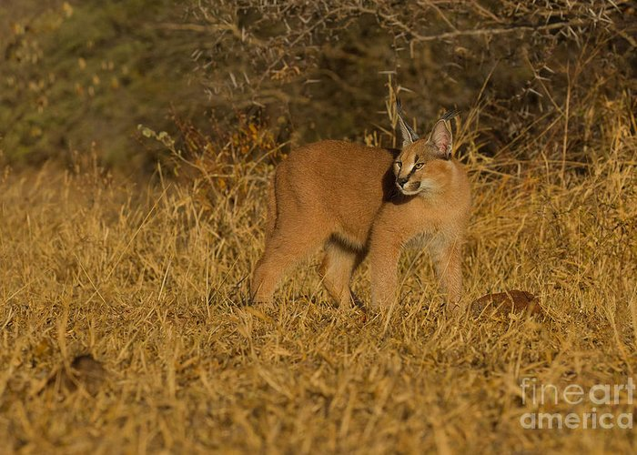Africa Greeting Card featuring the photograph Curious Caracal Cub by Ashley Vincent