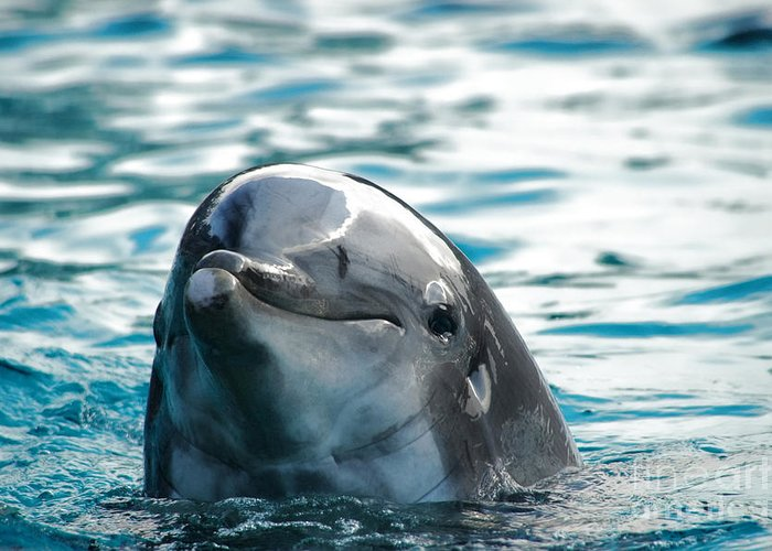 Dolphin Greeting Card featuring the photograph Curious Dolphin by Mariola Bitner