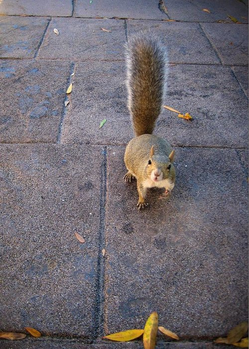 Animal Greeting Card featuring the photograph Curious Squirrel by Michele Stoehr