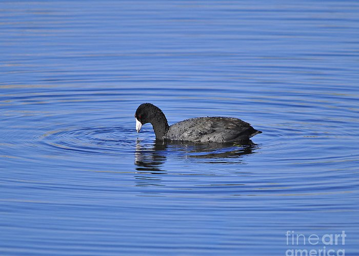 Coot Greeting Card featuring the photograph Cute Coot by Al Powell Photography USA