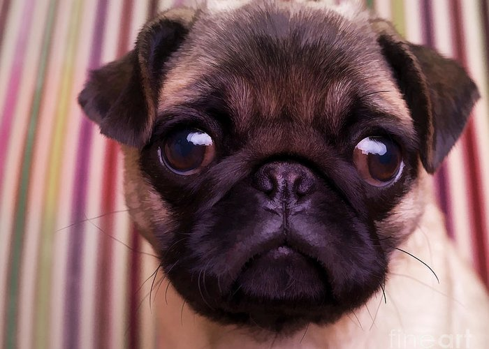 Pug Puppy Cute Dog Breed Portrait Pet Animal Toy Lap Greeting Card featuring the photograph Cute Pug Puppy by Edward Fielding