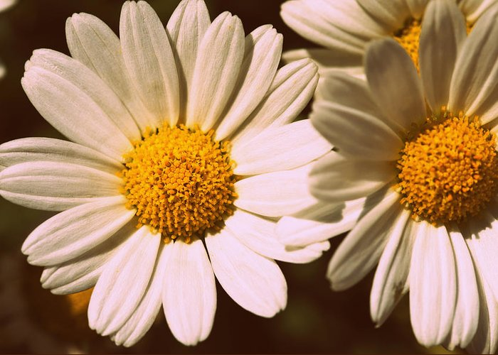 Flower Greeting Card featuring the photograph Daisies by Chevy Fleet
