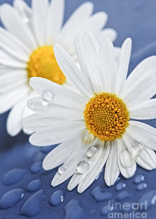 Flower Greeting Card featuring the photograph Daisy Flowers With Water Drops by Elena Elisseeva
