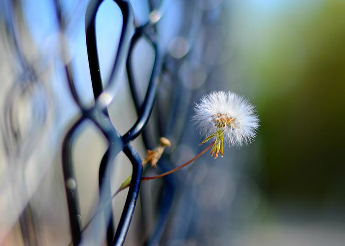 Laura Fasulo Greeting Card featuring the photograph Dandelion Wish by Laura Fasulo