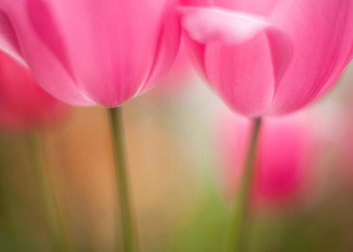 Flower Greeting Card featuring the photograph Delicate Light Of Spring by Mike Reid