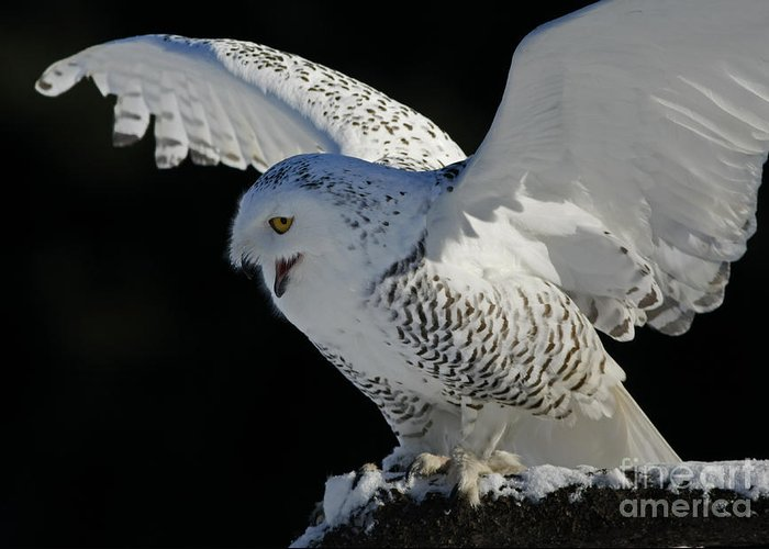 Snowy Greeting Card featuring the photograph Destiny's Journey - Snowy Owl by Inspired Nature Photography Fine Art Photography