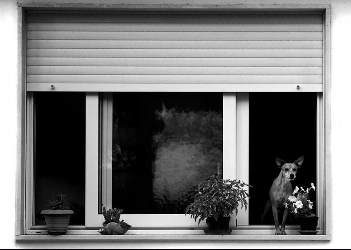 Dog Greeting Card featuring the photograph Dog In A Window by Fabrizio Troiani