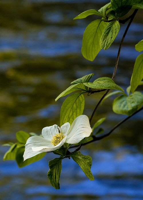 Yosemite Greeting Card featuring the photograph Dogwood On The Merced by Bill Gallagher