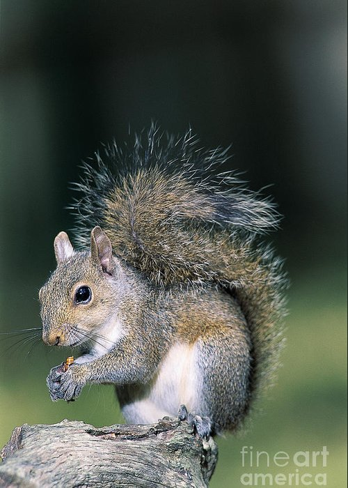 Eastern Gray Squirrel Greeting Card featuring the photograph Eastern Gray Squirrel by Millard H. Sharp